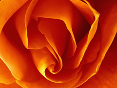 Пазлы онлайн. Картинка №298: Бутончик розы . Размер картинки: 640х480