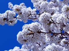 Пазлы онлайн. Картинка №307: Белое дерево . Размер картинки: 640х480
