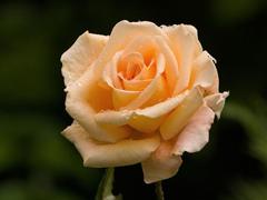 Пазлы онлайн. Картинка №312: Живая роза . Размер картинки: 640х480