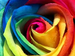 Пазлы онлайн. Картинка №326: Радужная роза . Размер картинки: 640х480