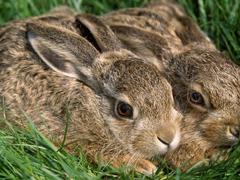 Пазлы онлайн. Картинка №339: Братья кролики . Размер картинки: 640х480