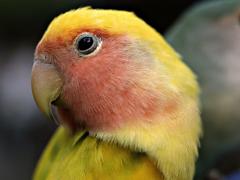 Пазлы онлайн. Картинка №347: Попугайчик . Размер картинки: 640х480