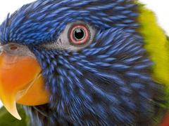 Пазлы онлайн. Картинка №371: Радужный попугай . Размер картинки: 640х480