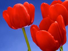 Пазлы онлайн. Картинка №390: Тюльпанные тройняшки . Размер картинки: 640х480