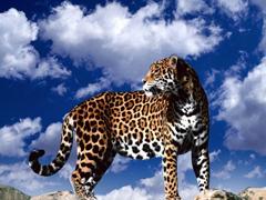 Пазлы онлайн. Картинка №40: Пятнистый альпинист . Размер картинки: 640х480