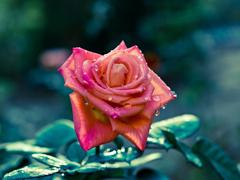 Пазлы онлайн. Картинка №447: Роза после росы . Размер картинки: 640х480