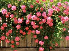 Пазлы онлайн. Картинка №467: Розовые розы . Размер картинки: 640х480
