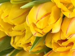 Пазлы онлайн. Картинка №470: Желтые тюльпаны . Размер картинки: 640х480