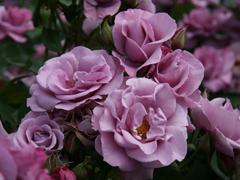 Пазлы онлайн. Картинка №484: Чайная роза . Размер картинки: 640х480