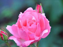 Пазлы онлайн. Картинка №485: Яркая роза . Размер картинки: 640х480