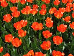 Пазлы онлайн. Картинка №544: Тюльпанный луг . Размер картинки: 640х480