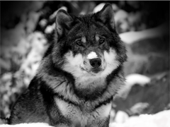 Пазлы онлайн. Картинка №57: Одинокий волк . Размер картинки: 800х600