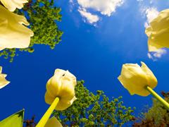 Пазлы онлайн. Картинка №597: Небо в тюльпанах . Размер картинки: 640х480