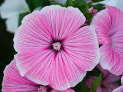 Пазлы онлайн. Картинка №610: Розовая петуния . Размер картинки: 640х480