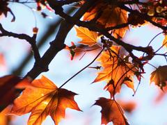 Пазлы онлайн. Картинка №615: Осенний клен . Размер картинки: 640х480