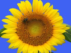 Пазлы онлайн. Картинка №621: Соняшник . Размер картинки: 640х480