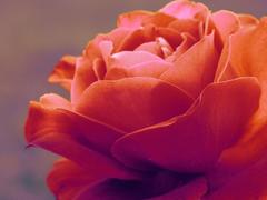Пазлы онлайн. Картинка №624: Роза раскрылась . Размер картинки: 640х480