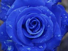 Пазлы онлайн. Картинка №642: Роза цвета электро . Размер картинки: 640х480