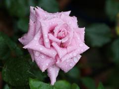 Пазлы онлайн. Картинка №666: Роза . Размер картинки: 640х480