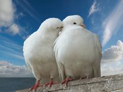 Пазлы онлайн. Картинка №697: Пара голубков . Размер картинки: 640х480