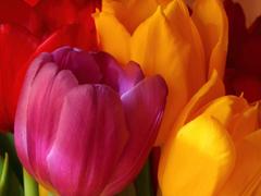 Пазлы онлайн. Картинка №722: Парижские тюльпаны . Размер картинки: 640х480
