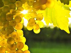 Пазлы онлайн. Картинка №761: Солнечный виноград . Размер картинки: 640х480