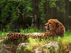 Пазлы онлайн. Картинка №801: Леопард . Размер картинки: 640х480